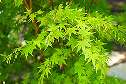 Fire Maple Dallas Photographer garden landscape architecture digital photographers Dallas, TX Texas Architectural Photography garden design