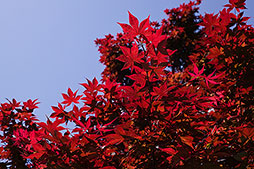 Maple Dallas Photographer garden landscape architecture digital photographers Dallas, TX Texas Architectural Photography garden design