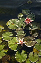 Water lily pond water works Dallas Photographer garden landscape architecture digital photographers Dallas, TX Texas Architectural Photography garden design